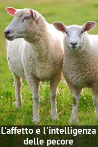 Copertina del video: L'affetto e l'intelligenza delle pecore