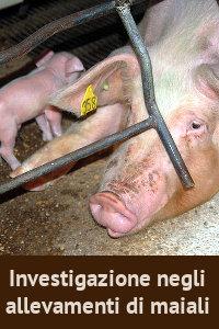 Copertina del video: Investigazione negli allevamenti di maiali
