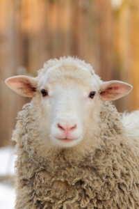 Copertina del video: Estratto di Dominion - Allevamento delle pecore