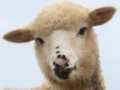 Video Estratto di Dominion - Allevamento delle pecore
