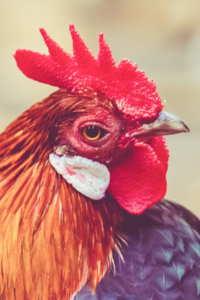 Copertina del video: Estratto di Dominion - Polli per la carne