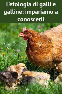 Copertina del video: L'etologia di galli e galline: impariamo a conoscerli