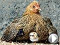 Video L'etologia di galli e galline: impariamo a conoscerli