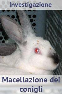 Copertina del video: Macellazione dei conigli