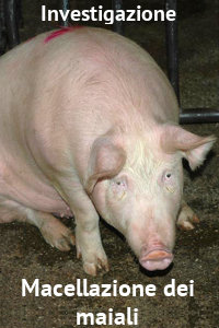 Copertina del video: Macellazione dei maiali