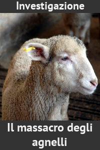 Copertina del video: Il massacro degli agnelli