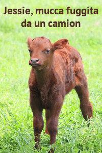 Copertina del video: Jessie, mucca fuggita da un camion