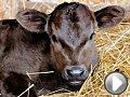 Video Jessie, mucca fuggita da un camion