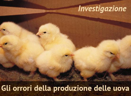 Gli Orrori Della Produzione Di Uova Investigazioni Su Allevamenti E