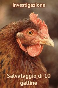 Copertina del video: Salvataggio di 10 galline