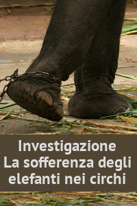 Copertina del video: La sofferenza degli elefanti nei circhi